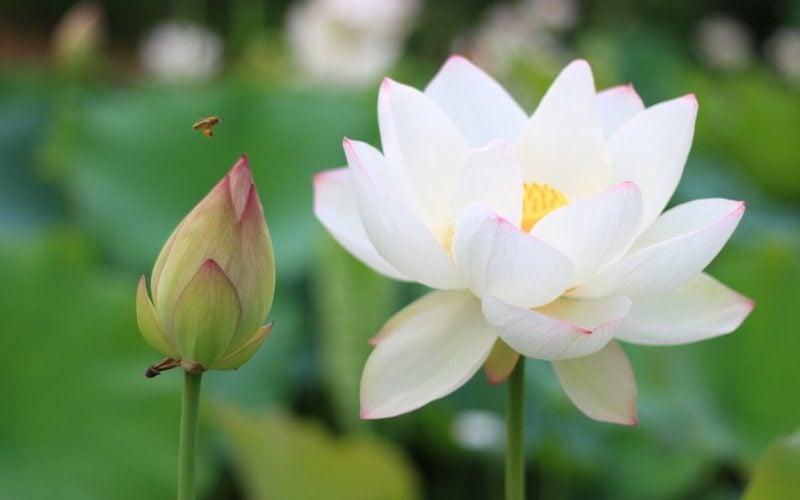 ハスの花。仏教で一番大切な花